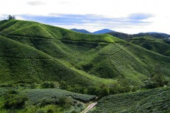 Cameron_Highlands_5-2