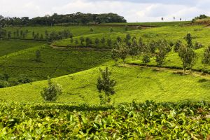 Tea plantation near Fort Portal, 2017