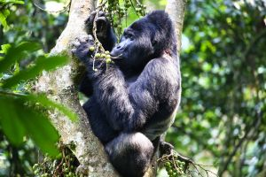 Bwindi Impenetrable Forest National Park, 2017
